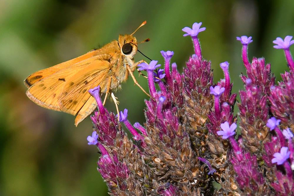 fiery_skipper_butterfly
