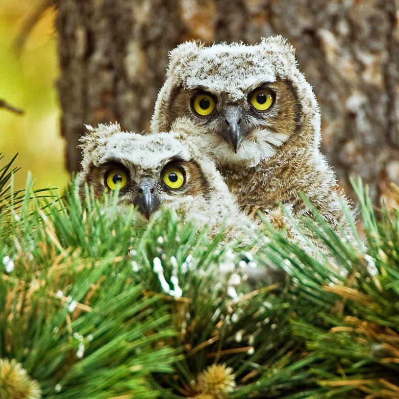great_horned_owl_chicks