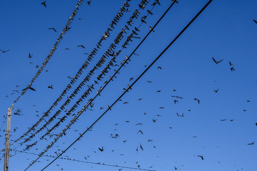 migrating_tree_swallows
