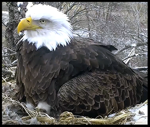 bald_eagle_nestcam_decorah