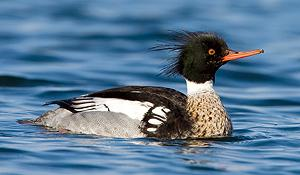 red_breasted_merganser