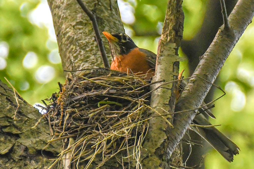 Robin on Nest