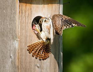 Kestrel_nestbox