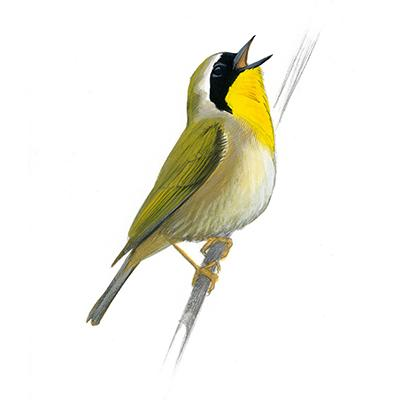 common_yellow-throat_Sibley