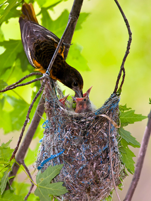 Baltimore_oriole_chicks_in _nest