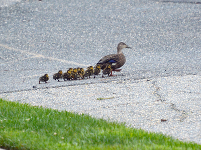 mallard_and_ducklings