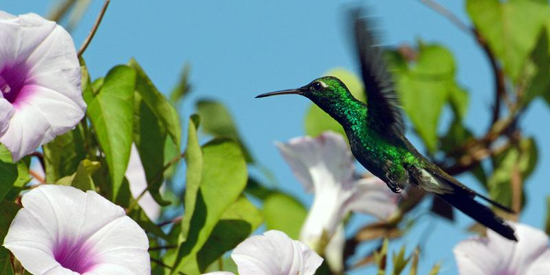 cuban_emerald
