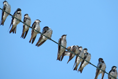tree_swallows_flocking