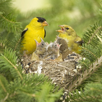 american_goldfinch_family