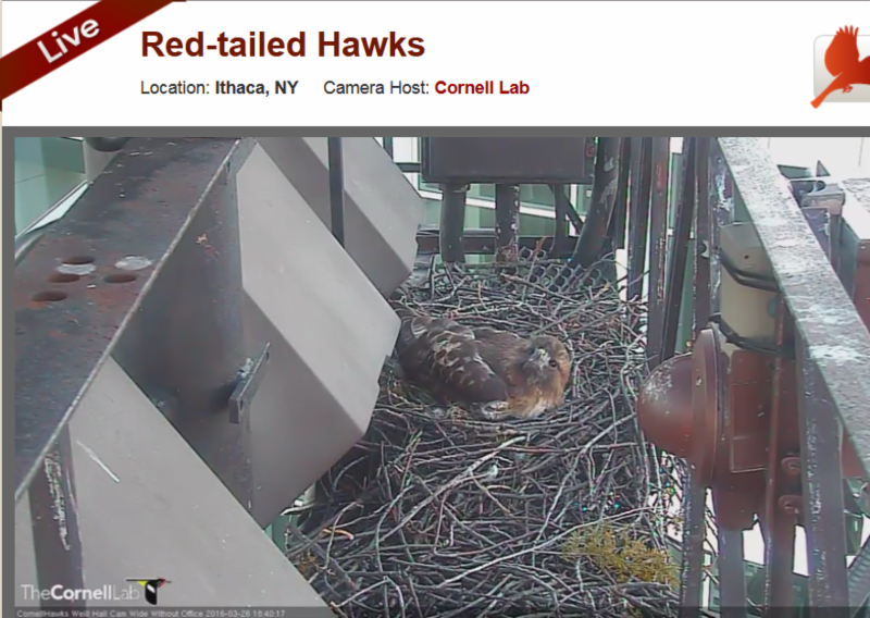 red_tailed_hawk_nestcam