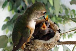 allens_hummingbird_nestcam_explore