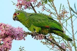 parrot_panama
