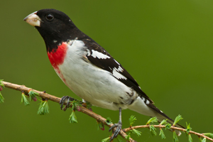 rose-breasted_grosbeak