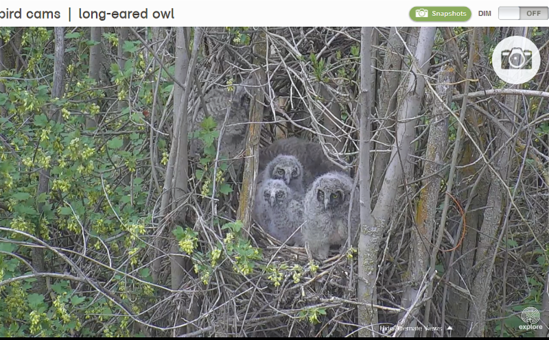 long-eared_owlets