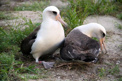 Wisdom_laysan_Albatross_USFWS