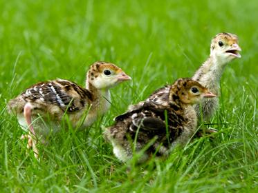 wild_turkey_chicks