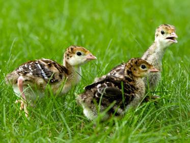wild_turkey_chicks