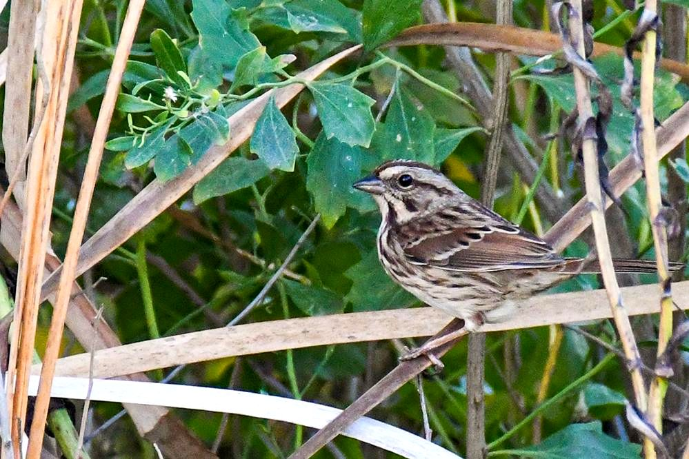 song_sparrow_meadow
