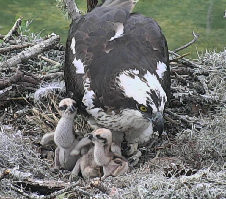 osprey_nestcam_Cornell