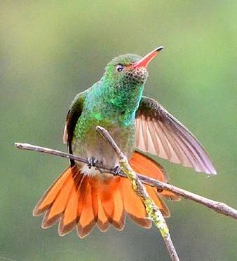 rufous_tailed_hummingbird