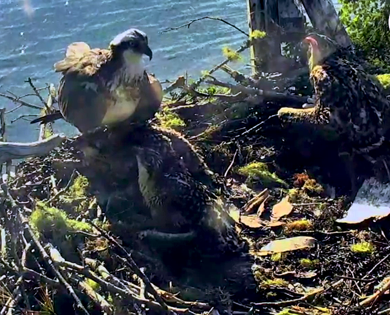 osprey_chicks_nestcam_explore.org