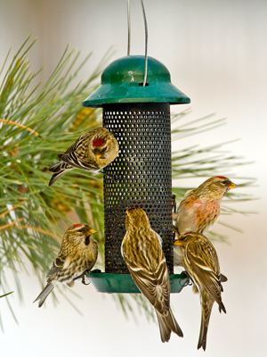 common_redpolls_feeder
