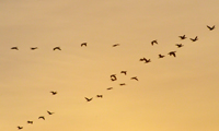 migrating_cormorants