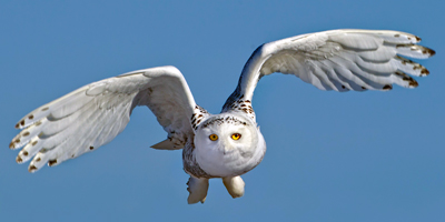 snowy_owl_flying