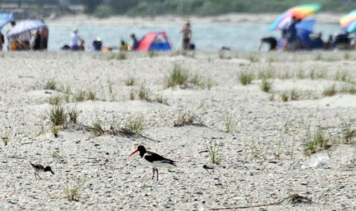 oystercatcher and chick at beach