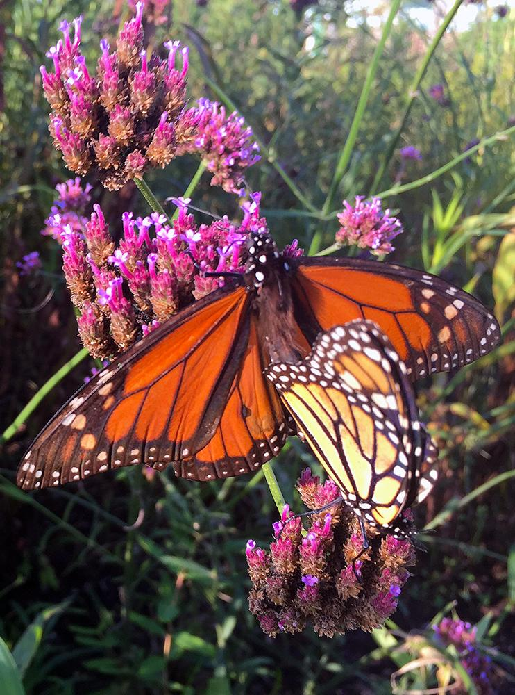 monarch_in_native_plant_meadow