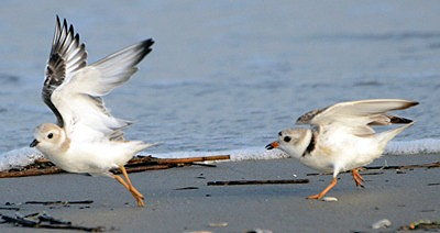 piping_plovers_juveline_and_aduylt
