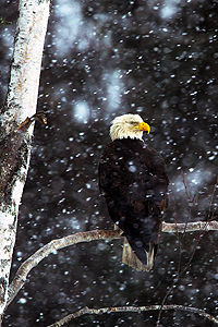Bald_eagle_winter