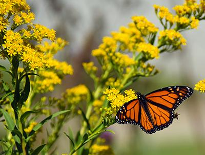 monarch_butterfly+native_plants