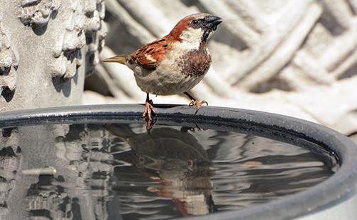 house_sparrow_bath