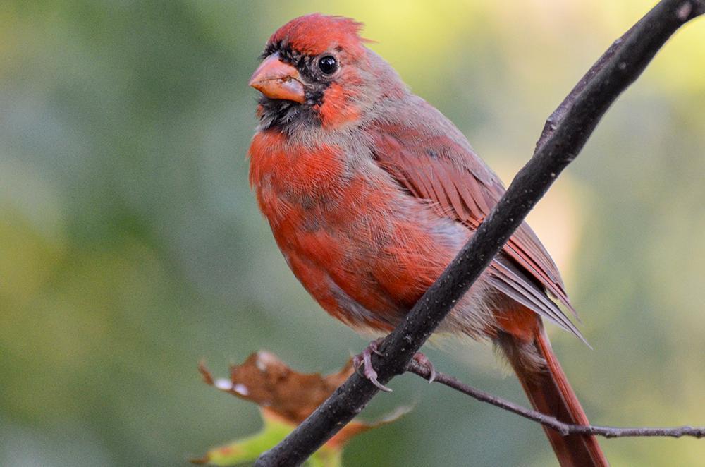 cardinal_molting
