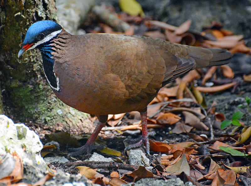 blue_headed_quail_dove