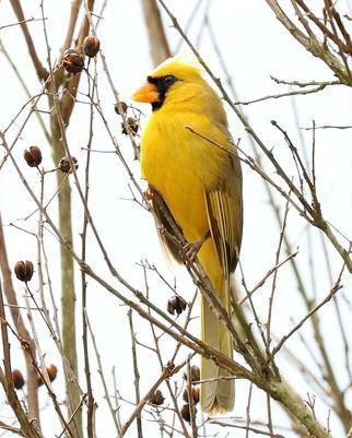 yellow_cardinal