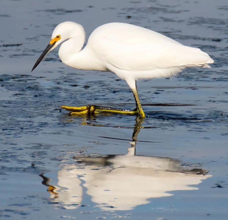 snowy_egret with yellow slippers
