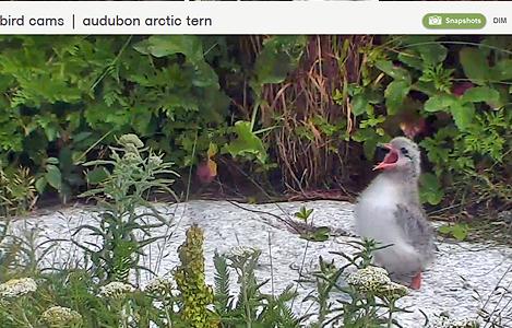 arctic_tern_chick_nestcam