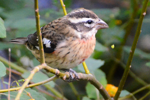 rose_breasted_grosbeak_juvenile