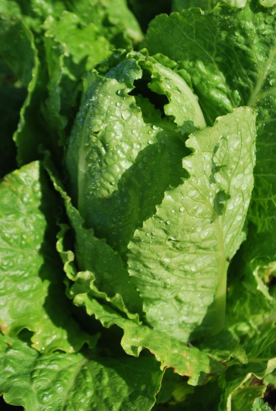 los olivos lettuce from farm