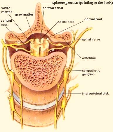 superficial cardiac plexus